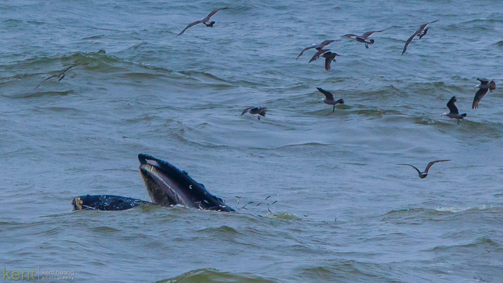 Humpbacks . . . © 2016 Kent S. Hwang.